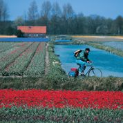 uomo che pedala tra i tulipani