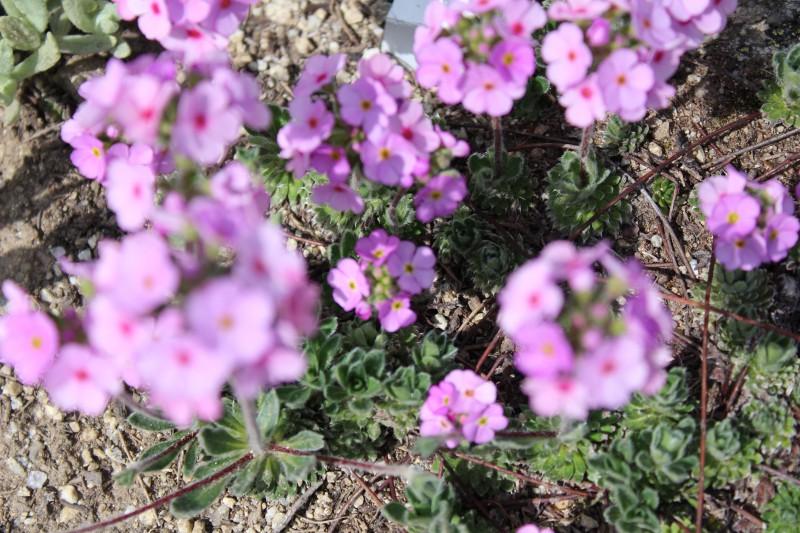 fiori a quota 2100