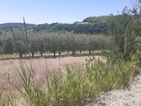 Ulivi sul Colle San Bartolo